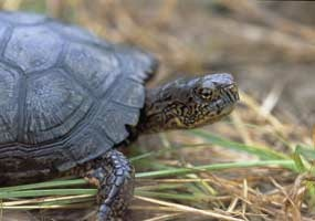 Mississippi Box Turtle, Natchez Parkway, State of MS