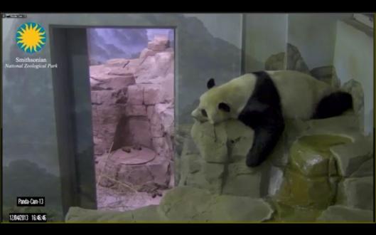 Smithsonian adult panda resting