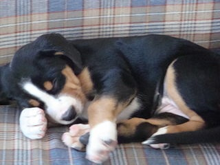 Greater Swiss Mt. Dog Puppy Sleeping