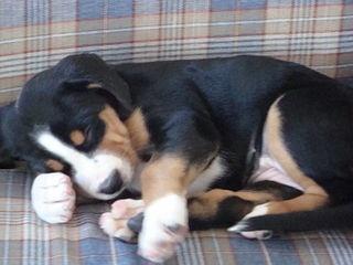 Greater Swiss Mt. Dog Puppy Sleeping