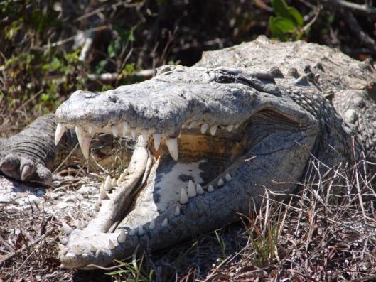 American Crocodile, US Fish and Wildlife Service