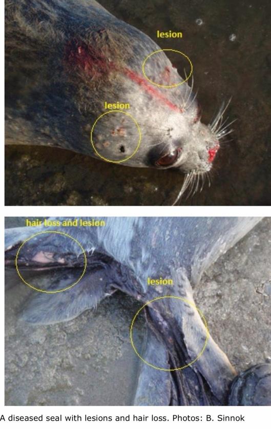 sick seals noaa