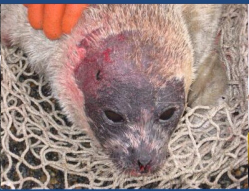 North Slope Borough Dept. Wildlife via NOAA, sick seal