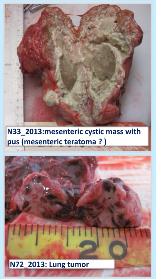 Seal lung tumor Stimmelmayra et. al., northslope.org