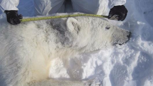 Alaska Polar Bear hair loss event USGS ca 2012