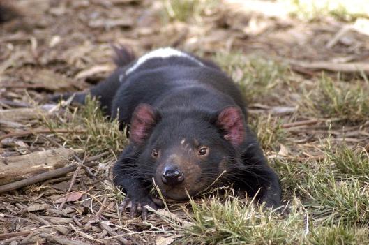 Tasmanian Devil by Wayne McLean, via wikimedia