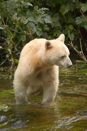 Spirit Bear Jackmont via wikimedia cc-by-sa-3