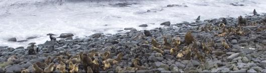 US National Marine Mammal Lab photo, St. Paul Island, Alaska, Seals
