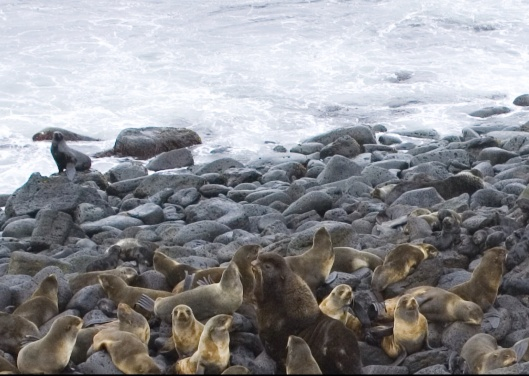zoom of St. Paul Rookery by Fowler-National Marine Mammal Lab 2006