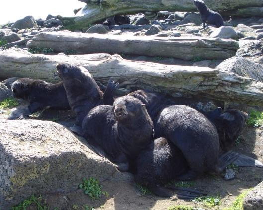 northern fur sea pups noaa