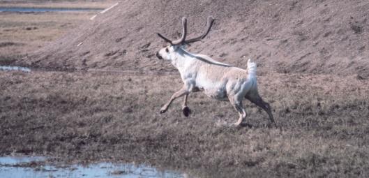 One Running Caribou US NOAA gov