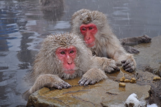 Snow Monkeys, Nagano, Japan, by Yblieb, CC-By-SA-3.0 via wikimedia http://en. wikipedia.org/wiki/Japanese_macaque