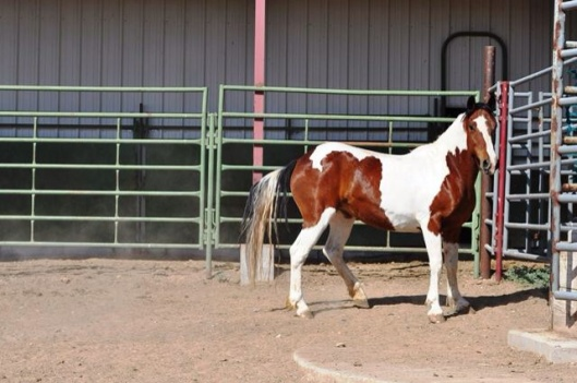 Pinto Wild Horse in corral up for adoption