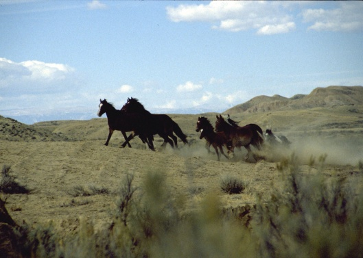 Wild Horses Running Free in Wyoming US BLM