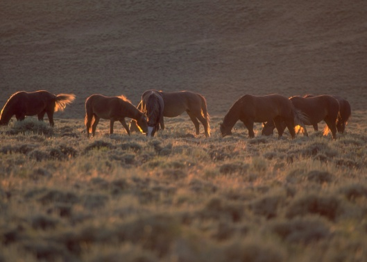BLM Wild Horses Grazing Wyoming
