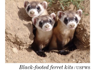 black footed ferret babes