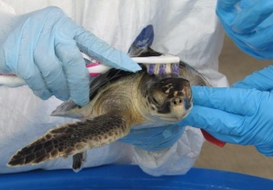 http://www.nmfs.noaa.gov/gallery/images/category/deepwater_horizon_sea_turtles.html
