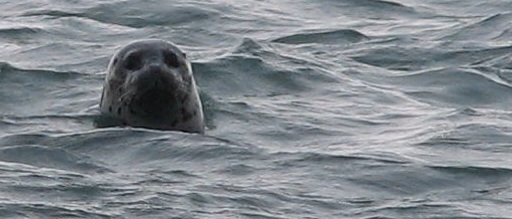 Credit: U.S. Fish and Wildlife Service Togiak/wildlife_and_habitat/seal head in water