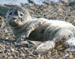 U.S. Fish-Wildlife Service http://www.fws. gov/refuge/Togiak/wildlife_and_habitat/seal baby