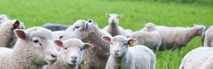 USDA Sheep image cropped