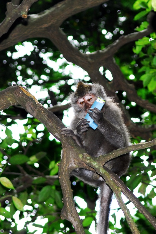 A crab-eating macaque (Macaca fascicularis) living in a human vicinity, with a stolen asthma inhaler in Bali, Indonesia, April 2008, By Taro Taylor from Sydney, Australia, CC-BY-2.0