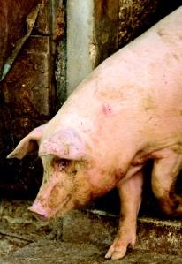 USDA big pink pig
