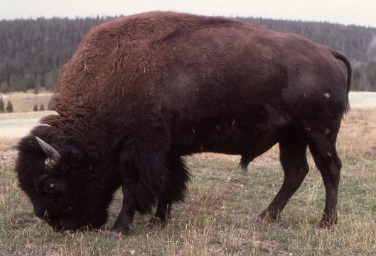 American Bison J. Schmidt US NPS