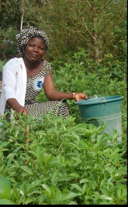 Burkina Faso:  Keeping and Harvesting Baobab Leaves a Valuable Dietary Supplement of Market Value, CC-2.0, by Tree Aid (2006):  https://www.flickr.com/photos/53871588@N05/5505299539/