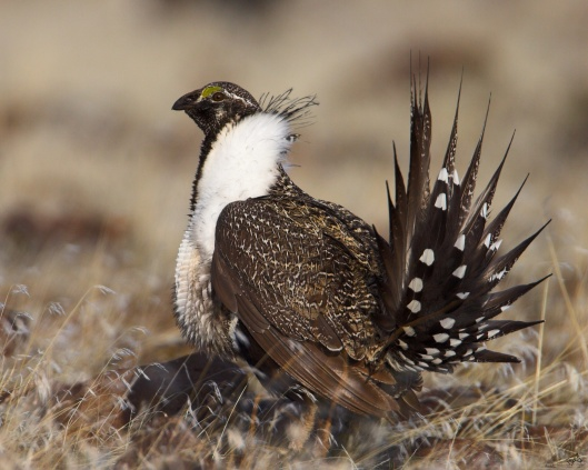Greater Sage Grouse, Photo by Pacific SW Region USFWS, Sacramento.