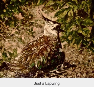 Lapwing painting by Marianne Birky-Marianne Wildart