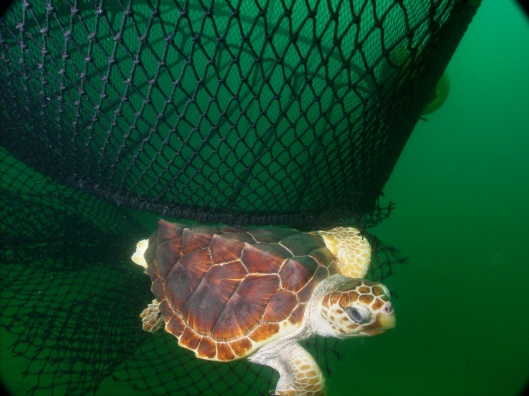 endangered loggerhead turtle US NOAA