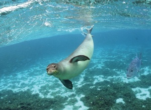 Hawaiian monk seal in the Papahanaumokuakea Marine National Monument Photo Credit: James Watt (NOAA)