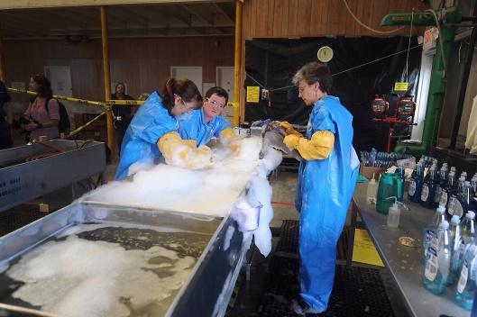 deepwaterhorizonresponse/4615576100 US Navy Cleaning Pelicans