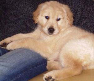 Golden Retriever Puppy public domain via wikipedia