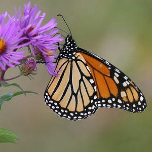 Monarch butterfly on aster. Photo by USFWS/Greg Thompson