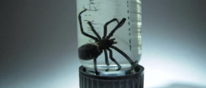 Black Widow Alaska USFW