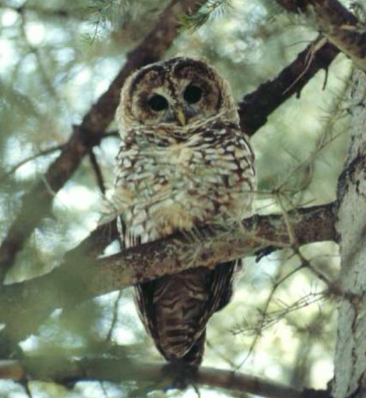 Mexican Spotted Owl US FWS