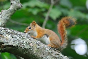 U.S. Fish and Wildlife Service American red squirrel, photo by Bill Thompson