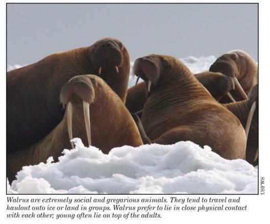 Walrus, USFW