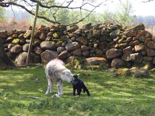 Cumbrian Lamb by Marianne Birby