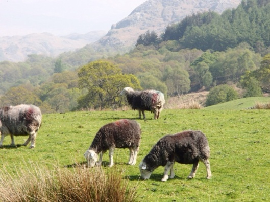 Cumbrian Sheep grazing Marianne Birkby