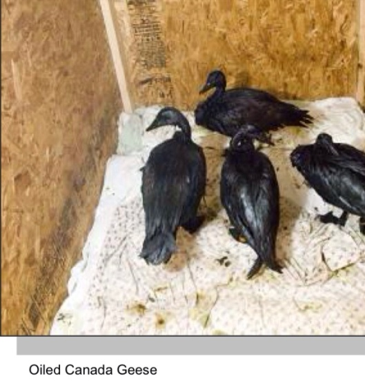 Oil Canada Geese Enbridge spill 2010 USFWS