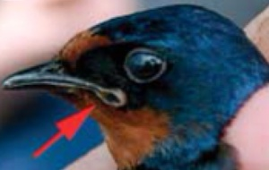 Bird with deformed beak  CC BY 2.5 by A. P. Møller, et. al. 2007