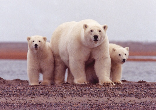 USFWS polar bear family