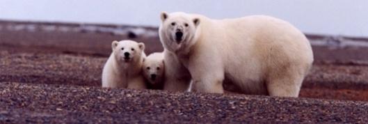 US FWS polar bear with cubs 2