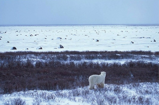 A polar bear looks out over a barrier island on the Arctic coast of Alaska. These islands are important habitat for the polar bear.  Photo Credit: USFWS