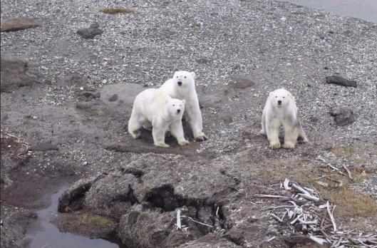 USFWS Photo in Circumpolar Action Plan: Conservation Strategy for Polar Bears.