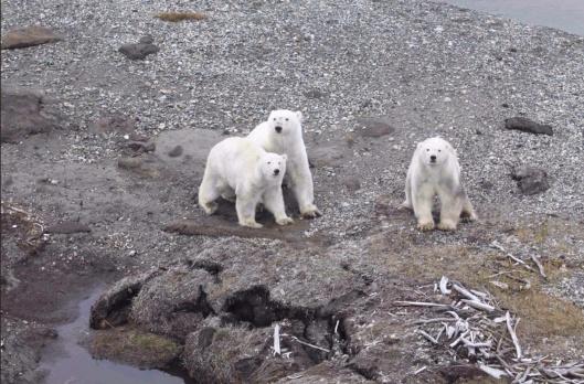 USFWS Photo in Circumpolar Action Plan: Conservation Strategy for Polar Bears.