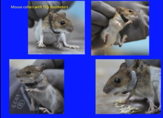 Biological Consequences of Nuclear Disasters: From Chernobyl to Fukushima, LOC-Mousseau Mice Dosimeters