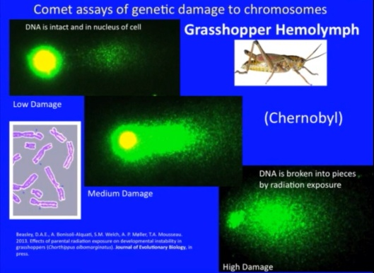 Biological Consequences of Nuclear Disasters: From Chernobyl to Fukushima, LOC-Mousseau  Comet Assay Crickets